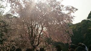 皇居さくら (3).jpg